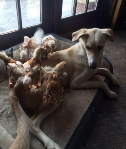 A szánhúzó kutya egy halom pipi mamája lett