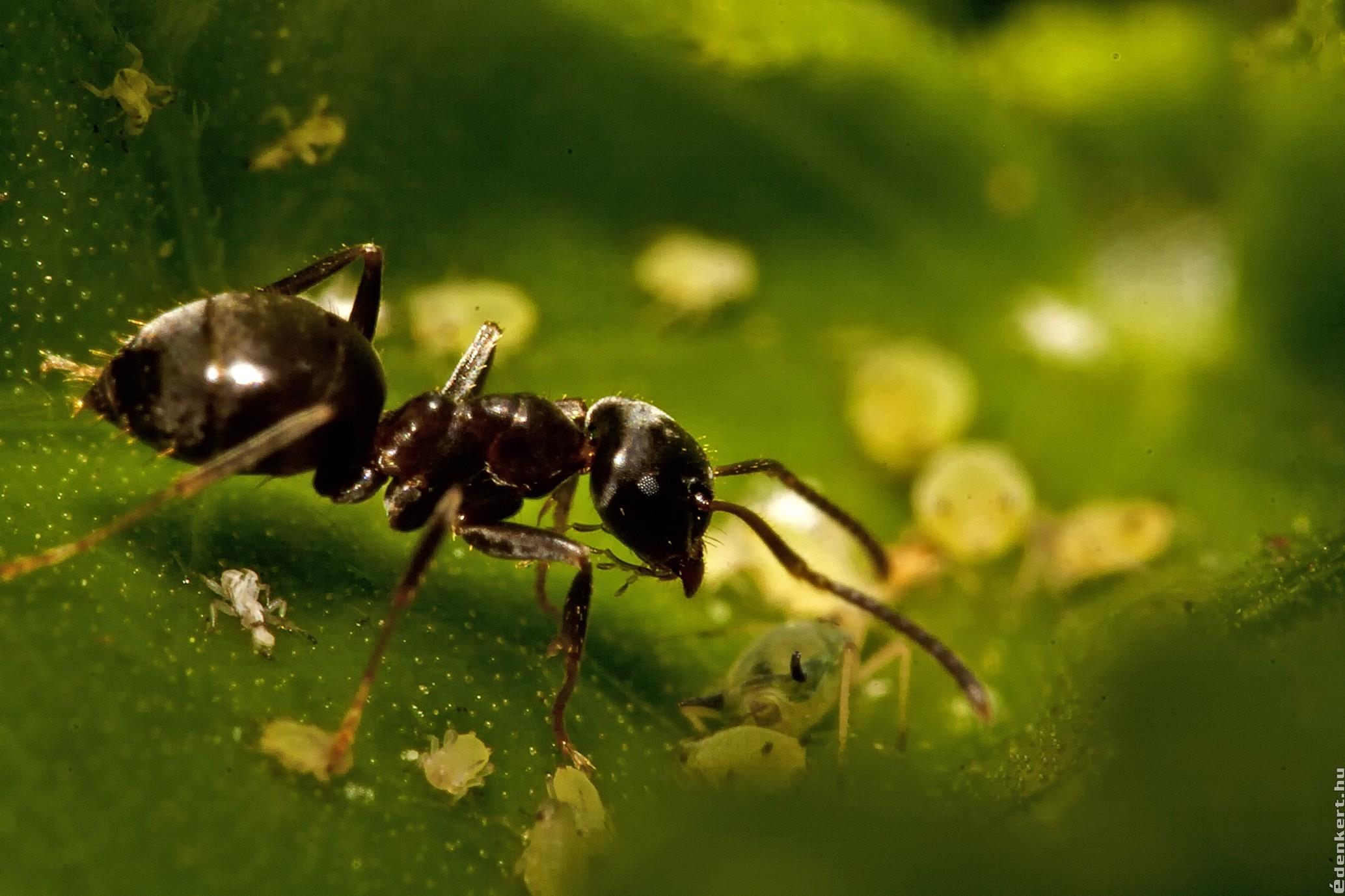 A hangyák kommunikációja