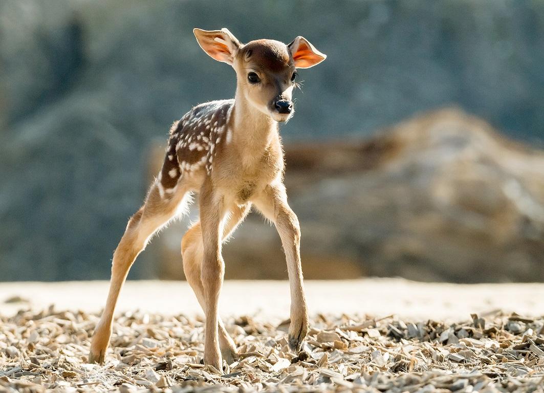 Újszülött Bambik a bécsi állatkertben