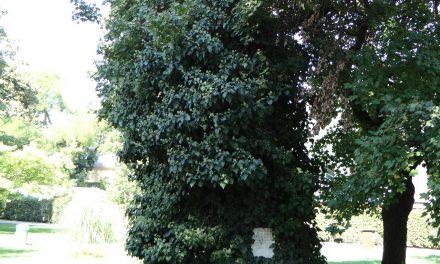Magyarország leghíresebb fái