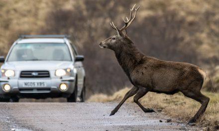 Így előzhetőek meg a vadbalesetek