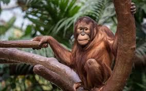 Orángutánok világnapja
